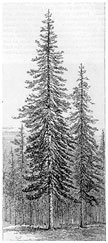 Image of a woodcutting with pine trees from John Muir